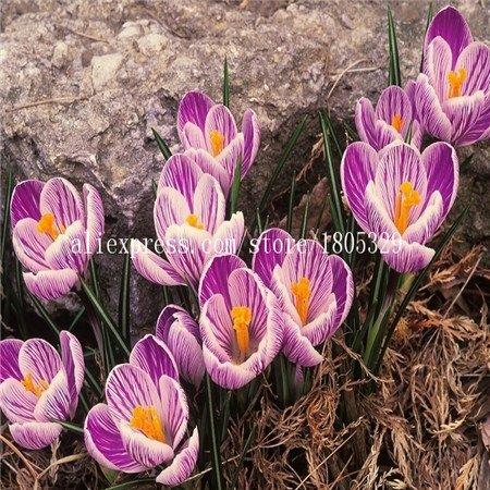 50pcs / sac, Crocus sativus graines, semences en pot, graines de fleurs, variété complète, le taux de 95% en herbe, (couleurs mélangées)