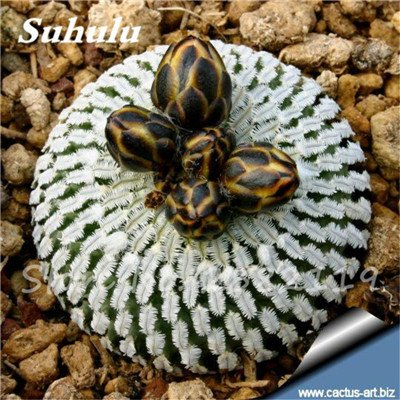 100 Pcs mixte vrai Cactus Seeds, Mini Cactus, Figuier, Graines Bonsai fleurs, vivaces herbes Plante en pot pour jardin 14