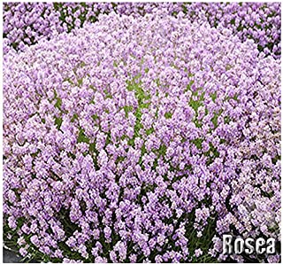 10 x Rosea Pink Lavender Flower/Herb Seeds - First Rose Lavender Available - Lavandula angustifolia Seeds - by MySeeds.Co