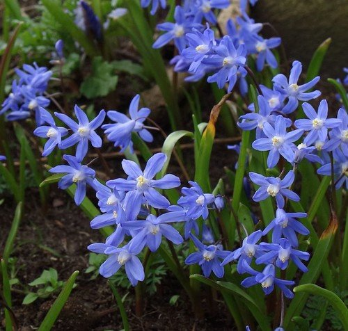 Plant World Seeds - Scilla Siberica Seeds