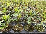 3 Piante Ilex Agrifoglio Aquifoglio Pungitopo Maggiore in vaso biodegradabile