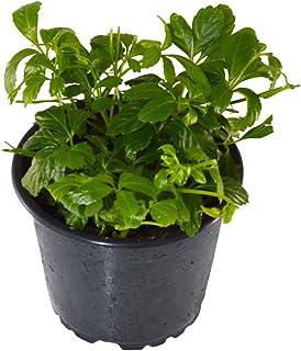 BIO-Spanische Minze im 12 cm Topffrische Pflanze in bester Qualität