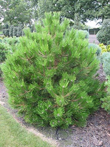 Pinus nigra Ruwer - Schwarzkiefer Ruwer