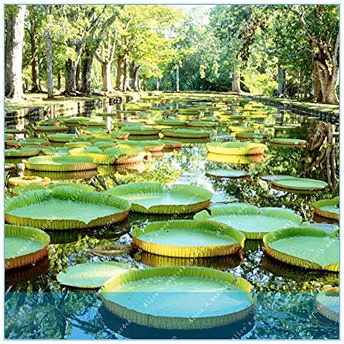 HONIC ZLKING 5pcs Riesen-Victoria amazonica hydroponischen Pflanzen Wasserpflanzen Blumentopf Wasser-Lilien-Bonsai Garden