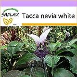 SAFLAX - Nepalesische Riesen - Fledermausblume - 10 Samen - Tacca nevia white