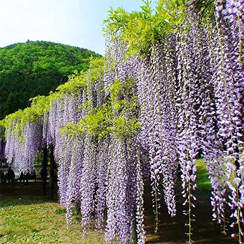 Aerlan Blumenwiese,Glyzinien Samen Hochwertige Kletterwand Mehrblumige Pflanzenblumen-200g,Blumensamen für Bienen