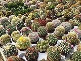 """Di solito ci vuole circa 1-4 settimane di tempo per consegnare dopo che l'oggetto è stato spedito. Si prega di controllare il tempo di consegna prima di effettuare gli acquisti. 800x """"Trichocereus Opuntia Saguaro"""" Semi Cactus Garden Mix"""