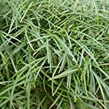 100 mm Mondo (ZS) Grass