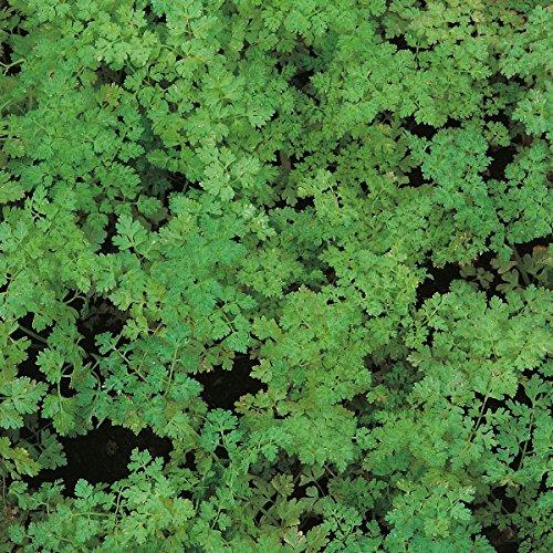 Cerfeuil Frisé - anthriscus cerefolium - 2500 Graines