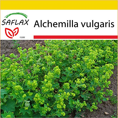SAFLAX - Kit de culture - Alchémille commune - 100 graines - Alchemilla vulgaris