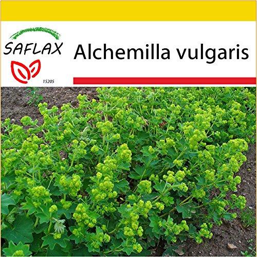 SAFLAX - Anzucht Set - Heilpflanzen - Frauenmantel - 100 Samen - Mit Mini-Gewächshaus, Anzuchtsubstrat und 2 Töpfen - Alchemilla vulgaris