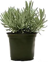 "American Plant Exchange English Lavender Fragrant Herb Live Plant, 6"" Pot, Purple Flowers"
