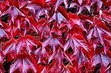 Boston Ivy Fast growing climber Parthenocissus tricuspidata Veitchii 25 seeds