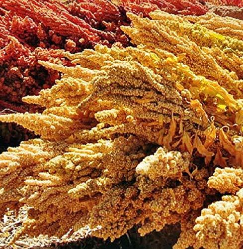 Quinoa Seeds for Planting