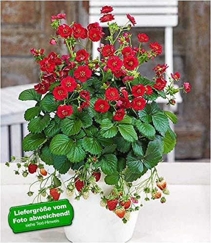 "BALDUR-Garten Erdbeere""Summer Breeze Rose"", 3 Pflanzen Erdbeerpflanze mit gefüllten roten Blüten"