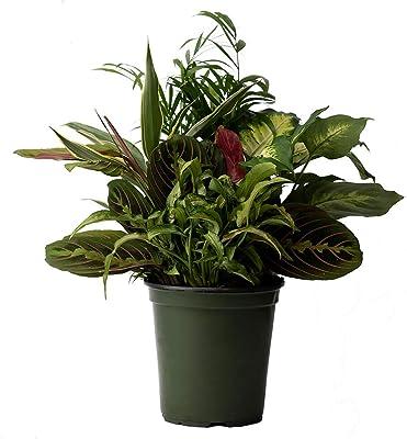 "American Plant Exchange Dish Garden Assorted Foliage Live Plant, 6"" Pot, 16-18"" Tall, Season Selection"