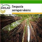 SAFLAX - Secuoya roja - 50 semillas - Con sustrato estéril para cultivo - Sequoia sempervirens