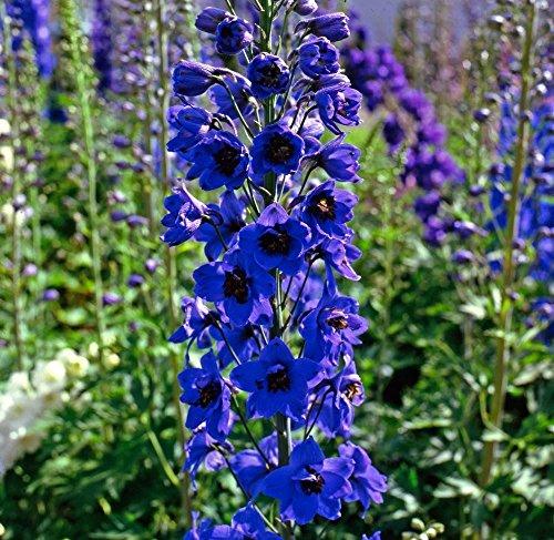 Il vous suffit de graines de fleurs???Delphinium???Pacific Black Knight???125?graines???Gros Lot