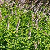 Outsidepride Spearmint - 10000 Seeds