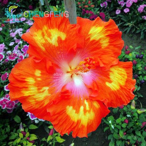 Sur 200pcs graines Hibiscus 24kinds HIBISCUS ROSA-sinensis graines Graines de fleurs d'arbres hibiscus pour les plantes en pot de fleurs Bourgogne