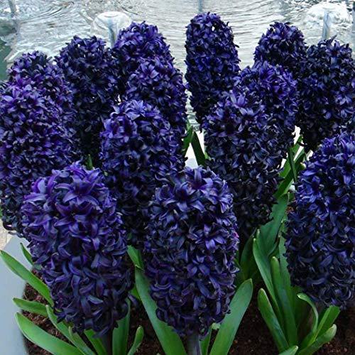 Airrais 50Pcs Hyacinth Seeds Colorful Bulb Flower Plants Seeds Home Garden DIY Plants
