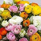 RENONCULE, Ranunculus Mélange/Mix, Pack: 120 Bulbes/Rhizomes, Première Qualité, BULBi Spécialiste des Bulbes, Créer Un Jardin Avec Une Mer de Fleurs, Sélection Pour Des Fleurs Cupées