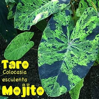 ~MOJITO~ TARO Colocasia esculenta VARIEGATED CAMO ELEPHANT EAR POTD Sml Plant