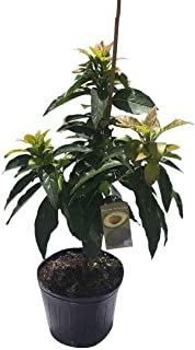 Brogdon Avocado Tree, Cold Hardy, Grafted, 3 Gal Container from Florida