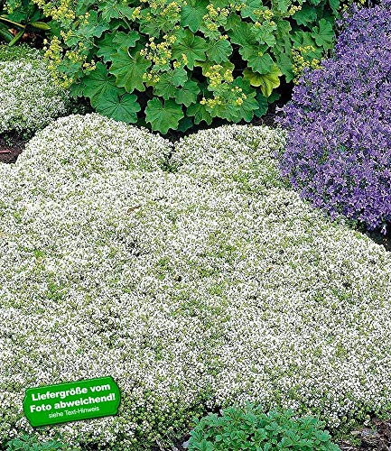 BALDUR-Garten Winterharter Weißer Polsterthymian, 3 Pflanzen Thymus praecox albiflorus Polsterthymian Thymian Pflanze winterhart