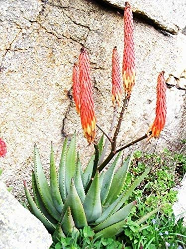 AchmadAnam New sales Aloe Reitzii Exotic Silver Color Rare Succulent Gray Mesa Mall