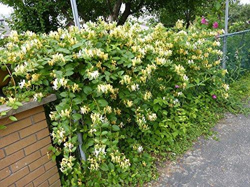 Neue freie Verschiffen 30pcs Geißblatt Samen / Jinyinhua Samen, chinesische Kräutermedizin Einpflanzen Saatgut zu Hause Gartenpflanzen H96