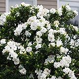 FarmenSamen 50 Pcs Gardenie Dekorative Zimmerpflanze Pflegeleicht Baum Saatgut Blumensamen Exotisch Winterhart Mehrjährig Kübel- Und Zimmerpflanze