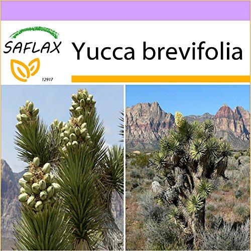 SAFLAX - Joshua Tree - 10 Samen - Yucca brevifolia