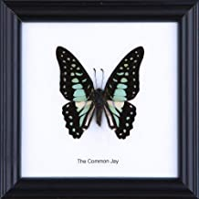 The Common Jay Butterfly (Graphium doson) | Framed Beautiful Butterfly Wall Decor | Unique Taxidermy Collectables | 4.75 x 4.75 in.