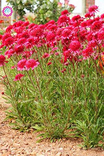 50PCS Rare orange Graines Echinacea vivace Graines de fleurs échinacée Showy Beaucoup-doublé capitules Plante en pot pour le jardin 1