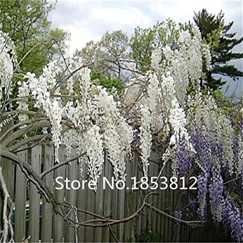 Sky Blue : Sale!100Piece 16 Colors Wisteria Seeds 2016 New Garden Flowers Four Season Sowing World Rare Flower Seeds For Garden