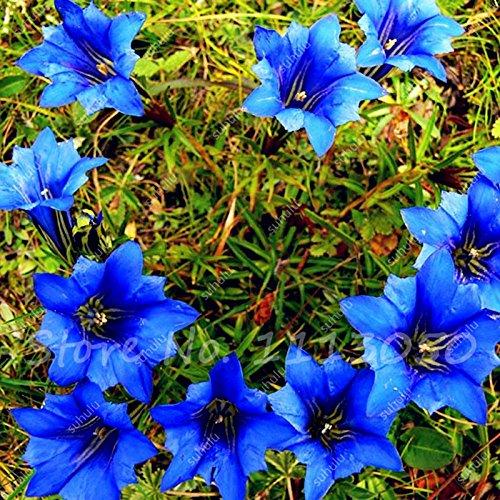 Haute Qualité Bonsai Largeleaf gentiane Graines vivace fleur bleue Plantes Blooming des semences jardin Diy ménagers 100 Pcs