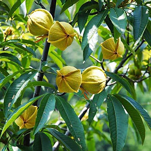 GEOPONICS SEEDS: ZLKING 1 Stk Pekan-Nuss Walnut Bonsai-Baum-Frucht Der Garten Lebensmittel Bio Exotische Pflanzenarten