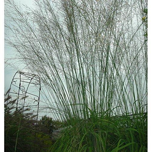 Blumixx Stauden Molinia arundinacea 'Transparent' - Hohes Pfeifengras gelbbraun