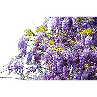Wisteria sinensis / Chinese Wisteria 2-3ft Tall in a 2L Pot, Fragrant Flowers