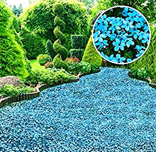 Acecoree Samen- 100 Polsterthymian Blütenteppich Rock Kresse Samen Zitronen-Thymian winterhart mehrjährig Immergrüne Blumensamen bienenfreundliche Blumen Steingärten