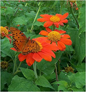 Torch Mexican Sunflower (Tithonia rotundifolia) Seeds. Butterfly Magnet! Direct from The Grower in The USA! (24+ Seeds)