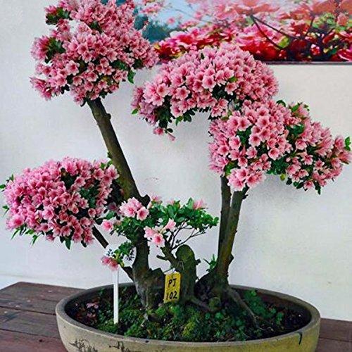 100 pcs / pack de rares Bonsai 13 Variétés Azalea Graines DIY Maison & Jardin Plantes ressemble Graines Sakura Japanese Cherry Blooms fleurs