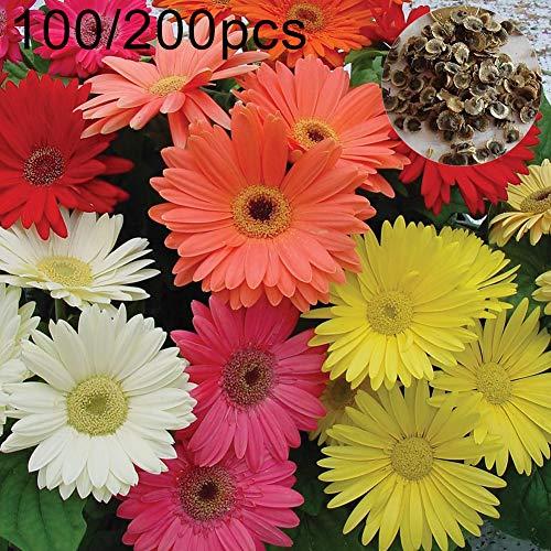 mothcattl 100 / 200Pcs Gerbera Samen, Einfach Zu Züchtende Pflanzen Zierblumen Balkon Gartendekoration Daisy Seeds 100 Stück