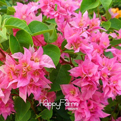 Nouvelles Graines fraîches 100 Pcs / Lot rares Graines Rose rose Bougainvillea spectabilis vivace Bonsai Fleur Plante Graines, # M9TN3T