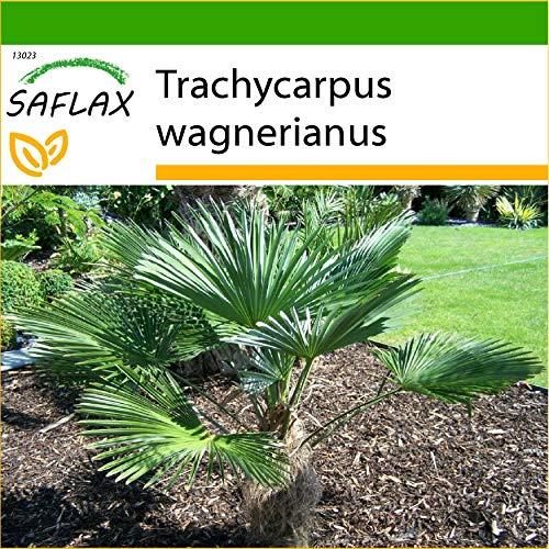 SAFLAX - Hanfpalme wagnerianus - 4 Samen - Mit keimfreiem Anzuchtsubstrat - Trachycarpus wagnerianus