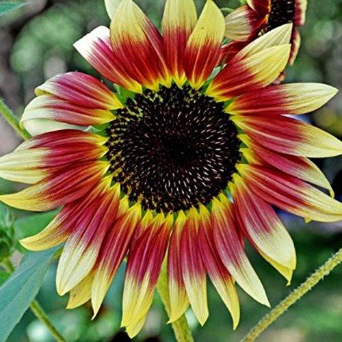 Inovey 40 Pcs Mixte Graines De Tournesol Coloré Rare Bonsaï Fleur Graines Jardin en Pot Plante