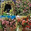 Cioler Seme di fiore- 100pcs Piante rampicanti del profumo Semi variopinti del fiore di Cress della roccia fiori ornamentali per Muro, casa, balcone, lungo la strada, giardino #3