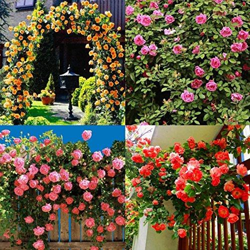 Keland Garten - Kletterrosen Samen winterhart mehrjährig 100pcs Rambler-Rose Rank- und Kletterpflanzen für Wände, Zäune, Fasaden,Rosenbögen und Pergolen