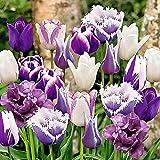 15x Tulipa 'Paradise'   15er Mix lila Tulpen Zwiebeln   Tulpenzwiebeln Winterhart Mehrjährig   Ø 11-12cm